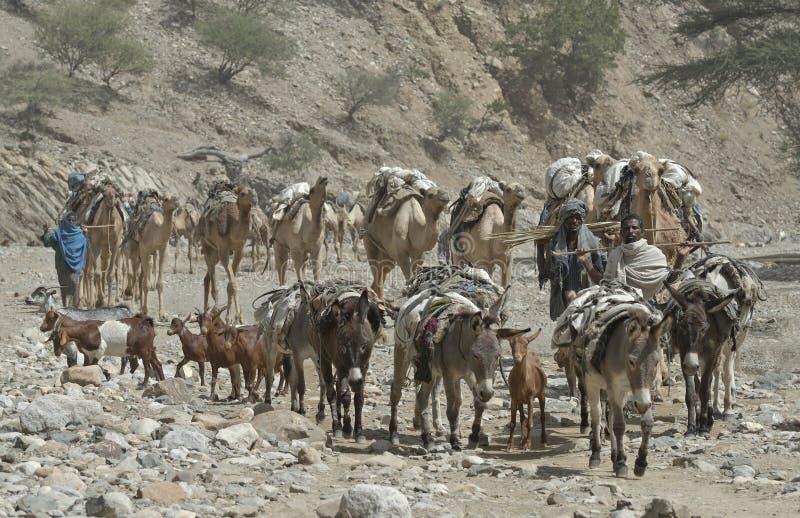 埃赛俄比亚3头骆驼的有蓬卡车 免版税图库摄影