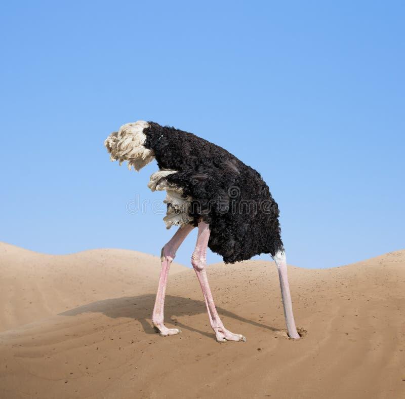 埋没它的头的害怕的驼鸟在沙子 免版税库存图片