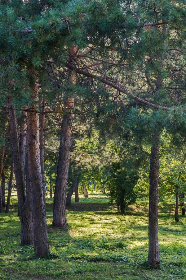 城市公园的树在阳光下 免版税图库摄影