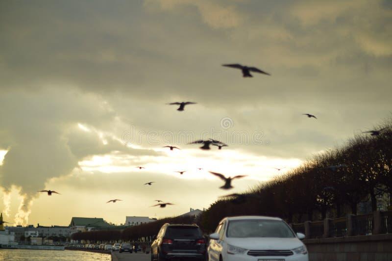 城市鸟 在飞行中鸽子 免版税图库摄影