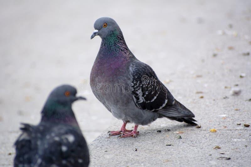 城市鸠或城市鸽子 库存照片