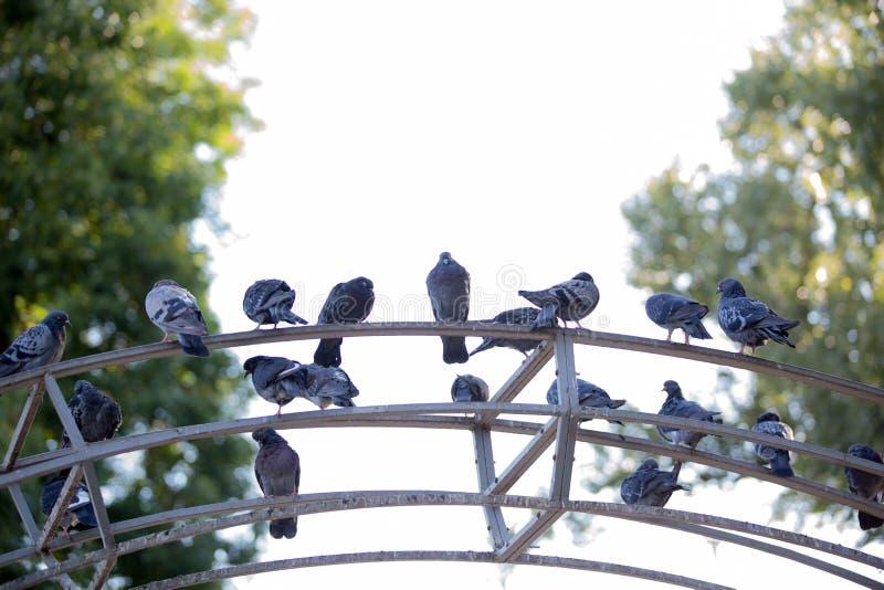 城市鸽子坐金属曲拱 免版税库存照片