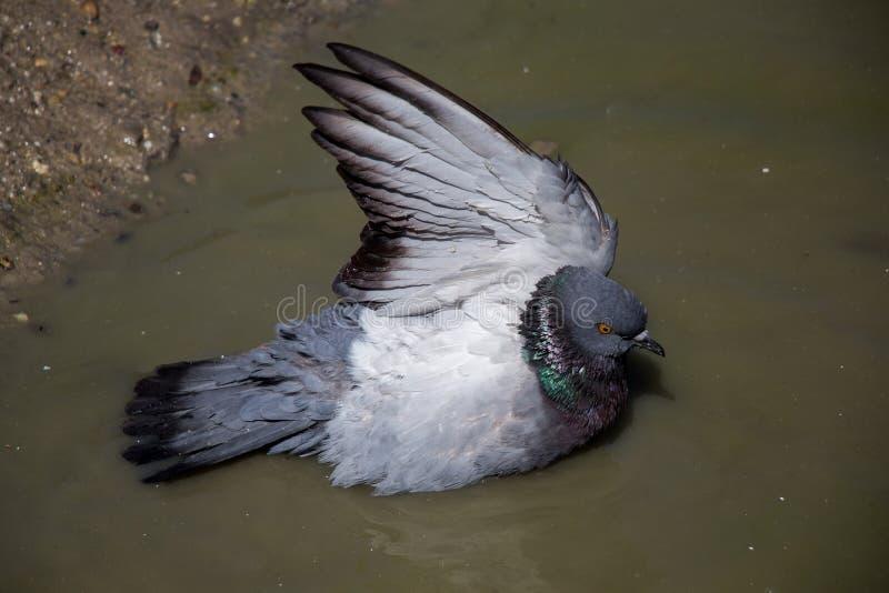 城市鸽子浴在泥泞的水中 免版税库存照片