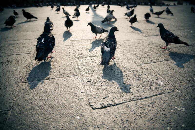 城市鸽子 库存照片