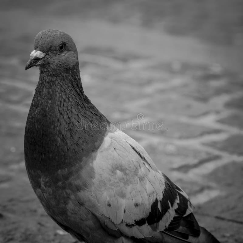 城市鸽子 图库摄影