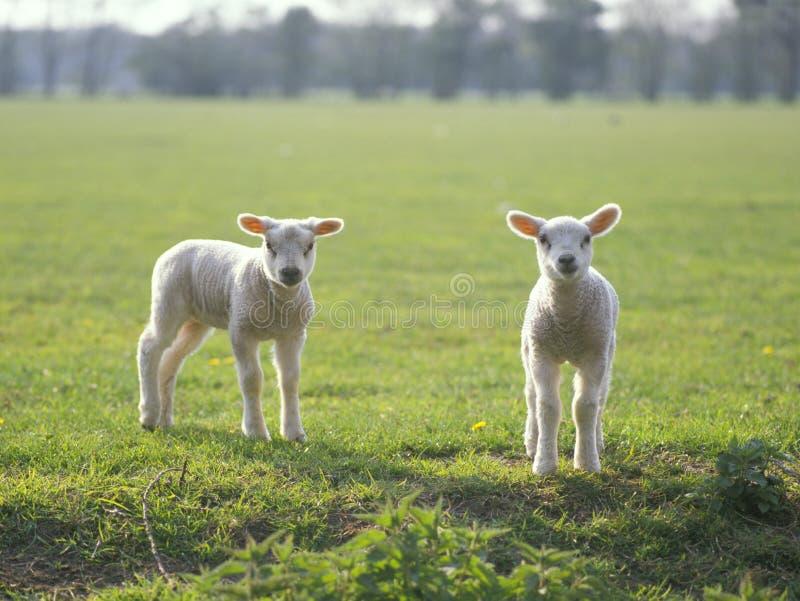 域产小羊一点二 免版税图库摄影
