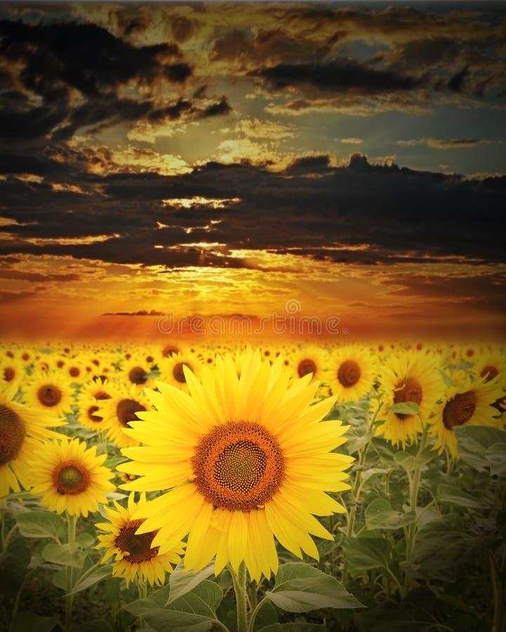 域向日葵日落时间 图库摄影