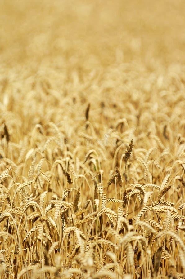 域成熟麦子 免版税库存照片