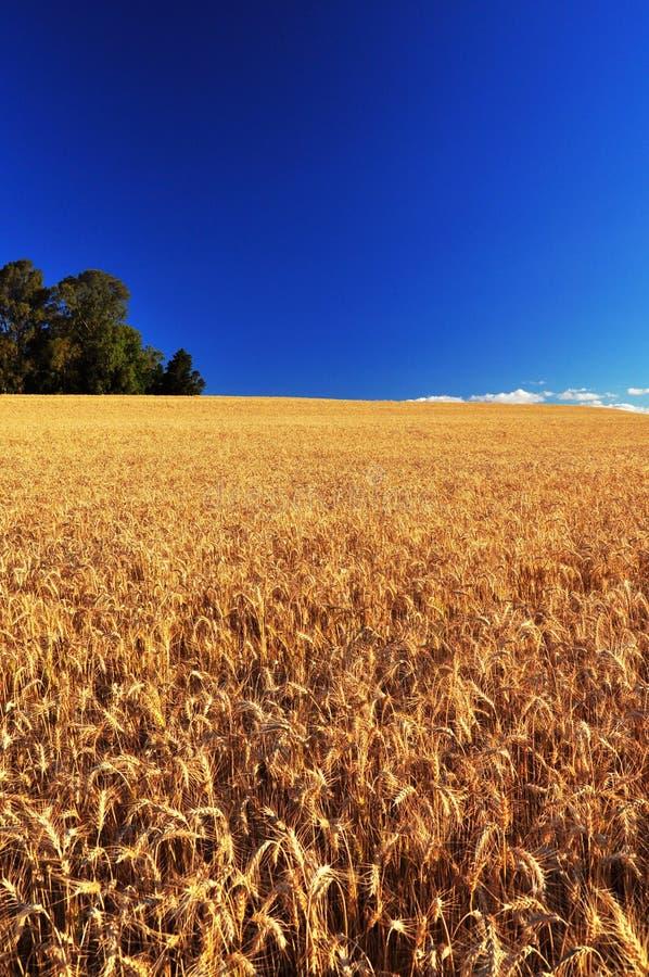 域成熟麦子 库存照片