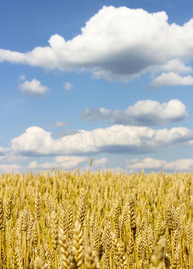 域成熟麦子 免版税图库摄影