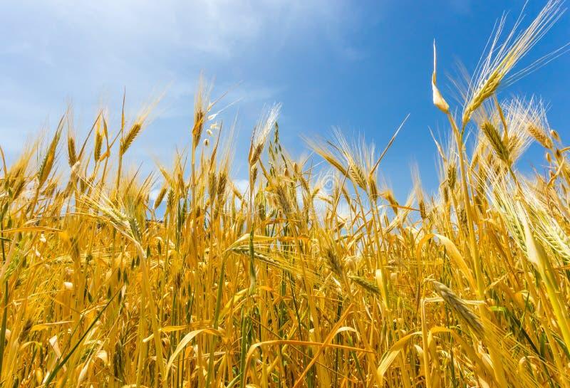Download 域成熟麦子 库存图片. 图片 包括有 场面, 金黄, 问题的, 地产, 季节, 黑麦, 国家(地区), 谷物 - 72367603