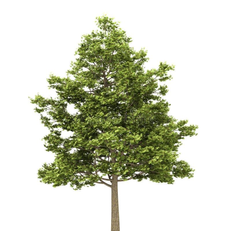 域查出槭树白色 向量例证