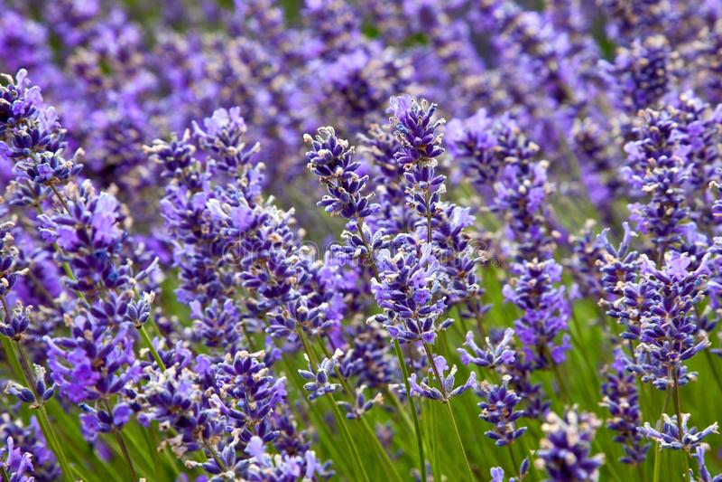 Download 域淡紫色夏天 库存图片. 图片 包括有 淡紫色, 香水, 庭院, 户外, 草甸, 绿色, 本质, 横向, 背包 - 15699213
