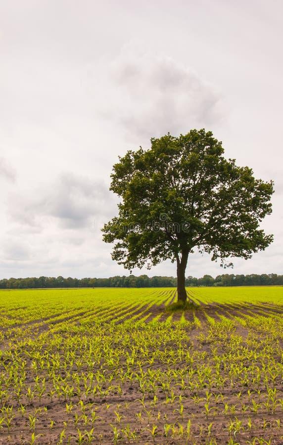 域玉米青贮孤零零结构树 免版税库存照片