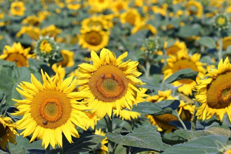 域用向日葵 库存图片