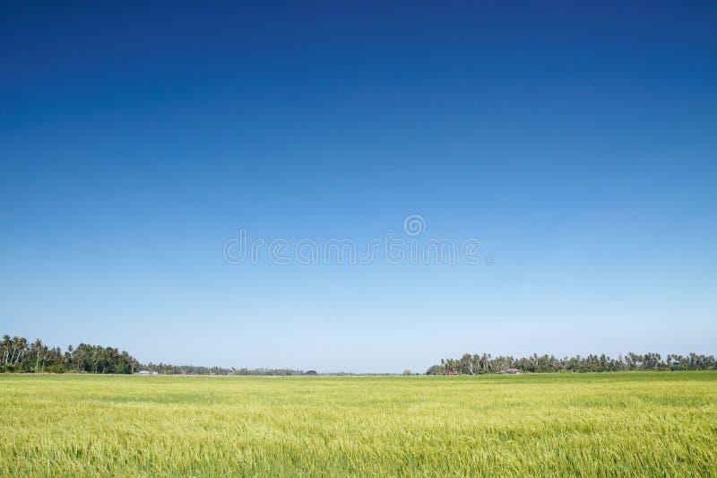域稻 库存图片