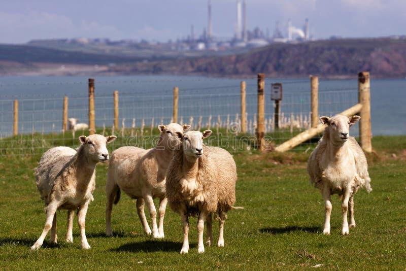 域绵羊 库存照片
