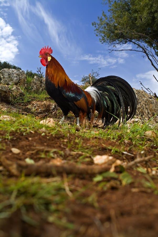 域自由放养的雄鸡 免版税库存图片