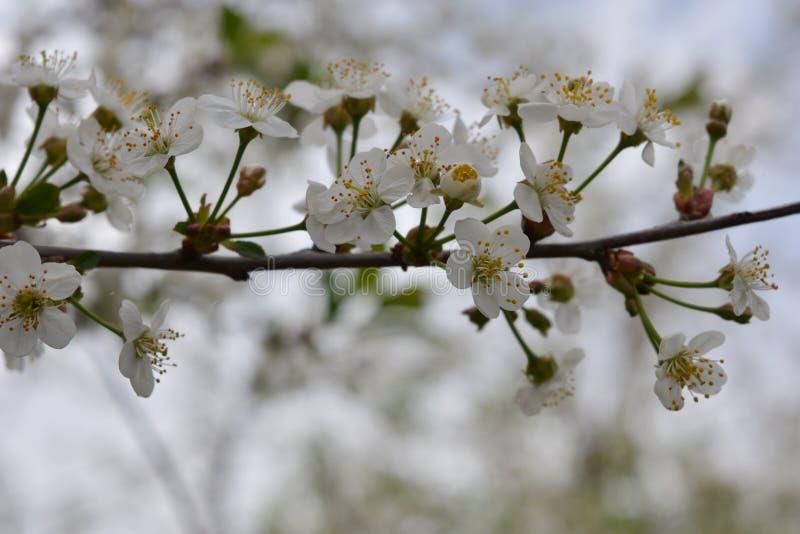 域草甸场面春天结构树 樱桃树分支与美丽的白花的 库存图片