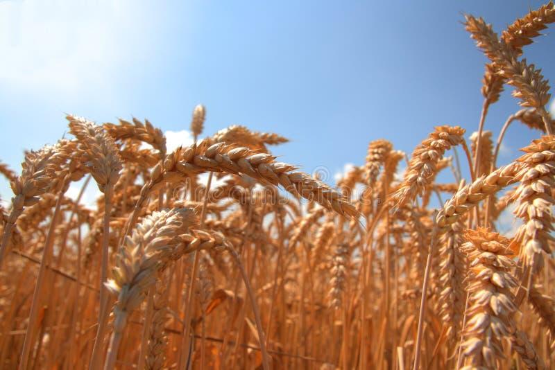 Download 域金黄麦子 库存图片. 图片 包括有 玉米, 耳朵, 题头, 麦子, 金黄, 横向, 没人, 天空, 遥远 - 15695093