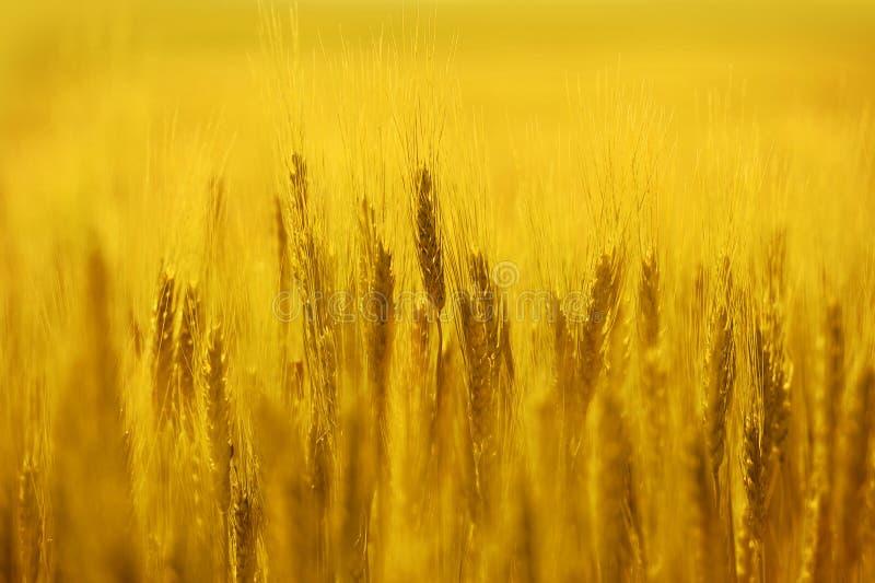 域金黄黑麦 库存图片