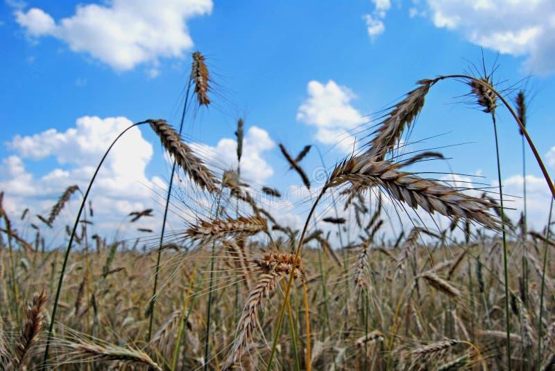 域黑麦 库存照片