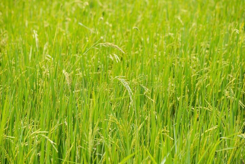 域绿色米 库存照片