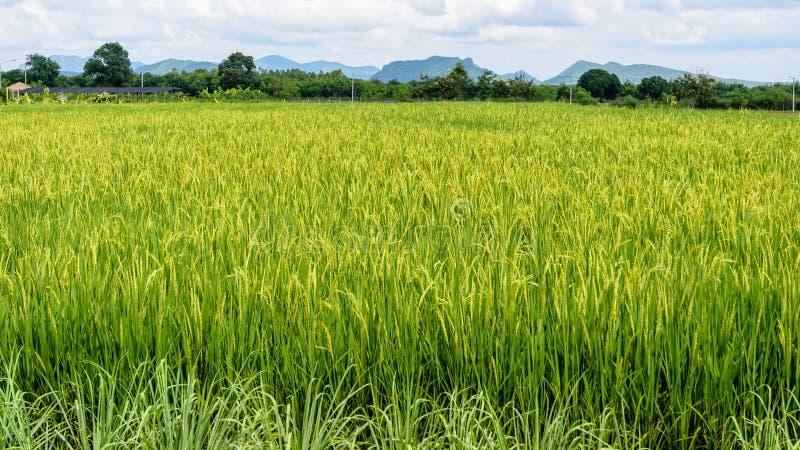 Download 域绿色米 库存图片. 图片 包括有 本质, 食物, 植物群, 聚会所, 庄稼, 室外, 绿色, 风景, 屏幕 - 72362589