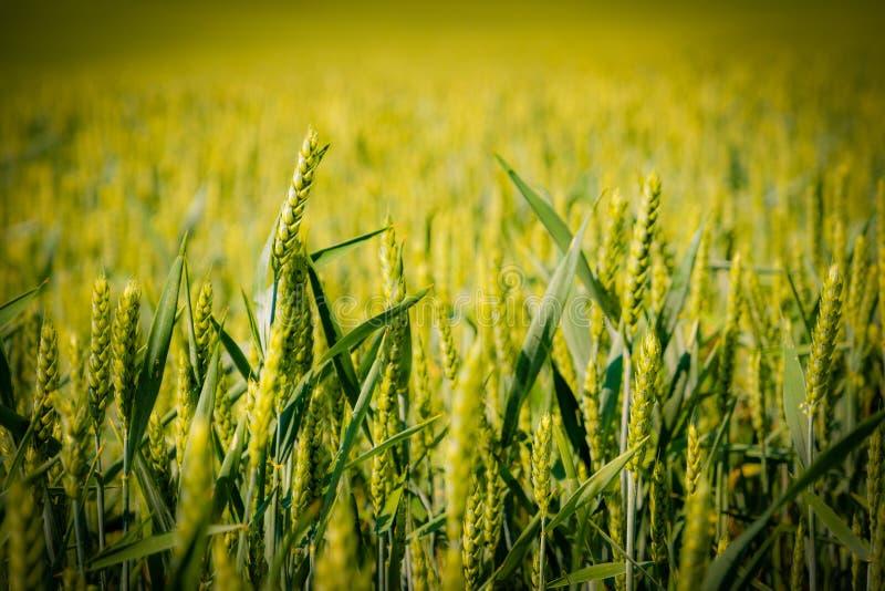 培养的绿色麦子关闭细节 图库摄影