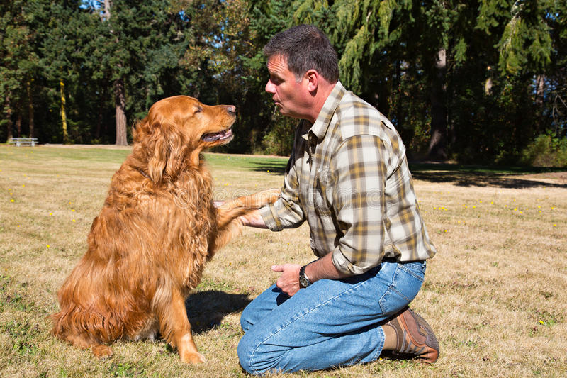 培训金毛猎犬的守纪 免版税图库摄影