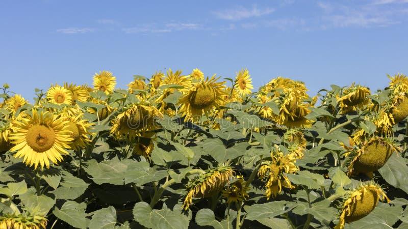培养的领域用向日葵 库存图片