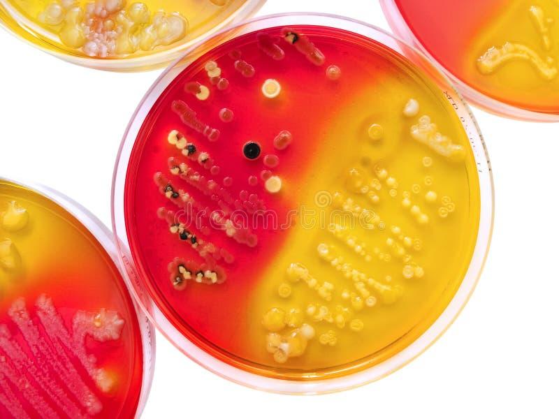 培养皿的细菌殖民地 免版税图库摄影