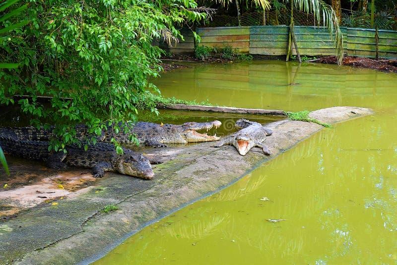 基于一个哺养的平台的三条大鳄鱼在这个农场在古晋,沙捞越 库存图片