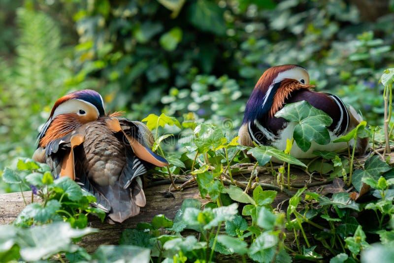 基于一个树干的两鸳鸯画象,与他们的在羽毛之间的额嘴 库存图片