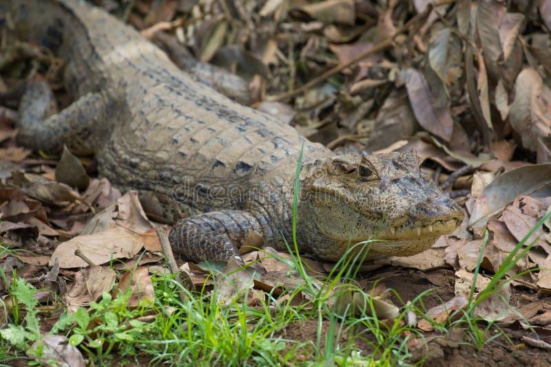 基于一家银行的凯门鳄在卡诺黑人野生生物保护区,哥斯达黎加 免版税库存图片