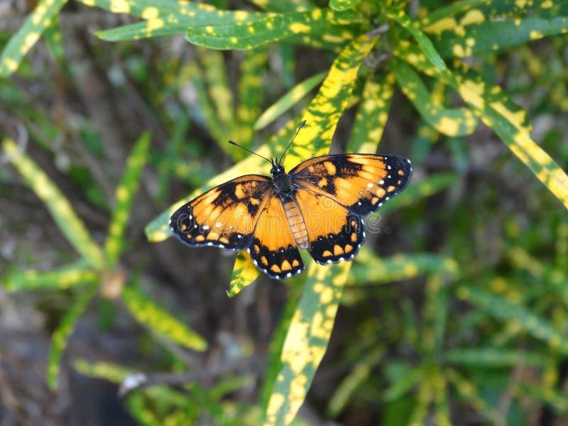 基于一棵绿色黄色植物的美丽的毗邻的补丁蝴蝶美丽的毗邻的补丁蝴蝶 免版税图库摄影