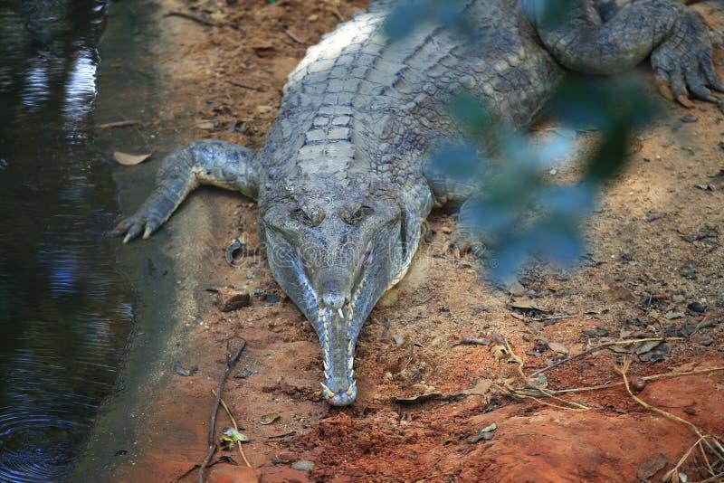 基于与的地面的Gharial Gavialis gangeticus 库存照片