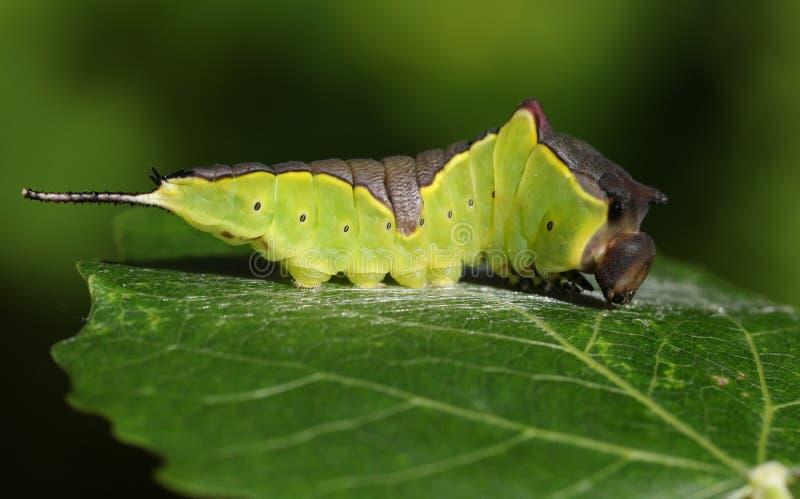 基于亚斯本树叶子杨属tremula的少女飞蛾毛虫Cerura vinulais在森林地,在它流洒它的滑雪之前 库存照片