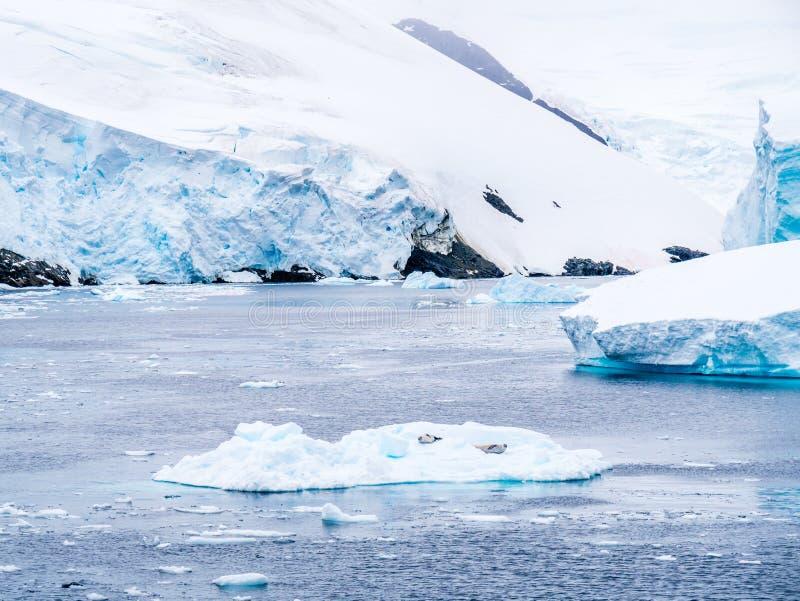 基于冰川的食蟹动物封印在勒梅尔海峡,Antarcti 库存图片