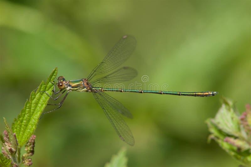 基于叶子的杨柳鲜绿色蜻蜓 免版税库存照片