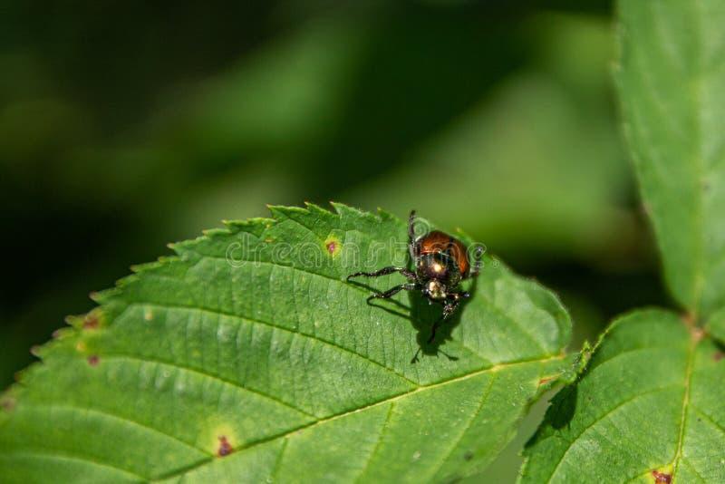 基于叶子的毒狗草甲虫 免版税图库摄影