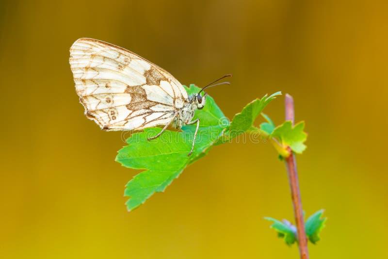 基于叶子的蝴蝶在日落 库存照片
