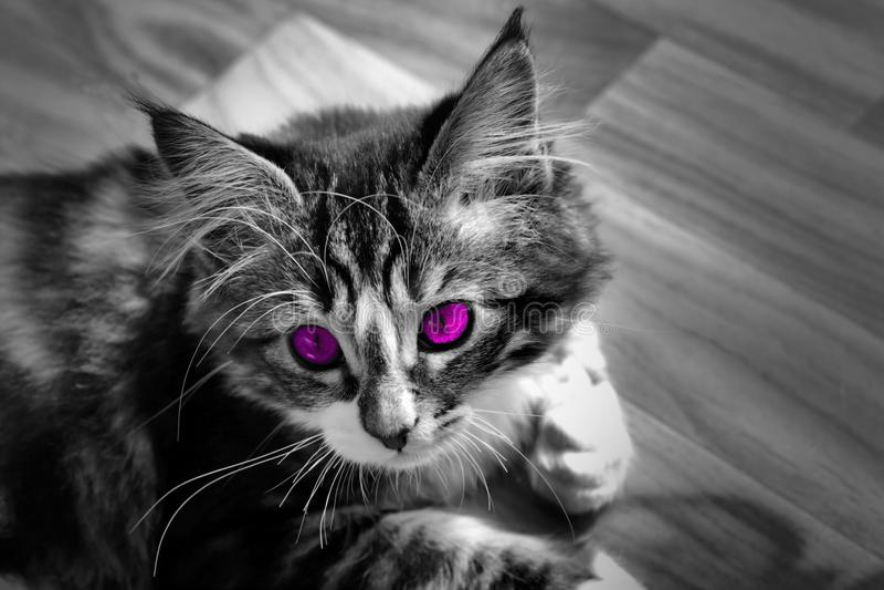 基于地面单色照片和猫与五颜六色的紫色眼睛的小的挪威小猫 库存图片