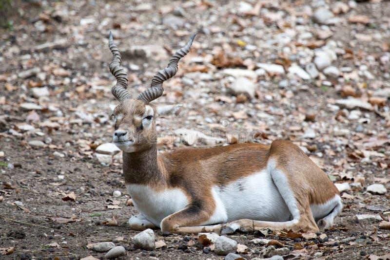 基于地面的Blackbuck或印地安羚羊 图库摄影