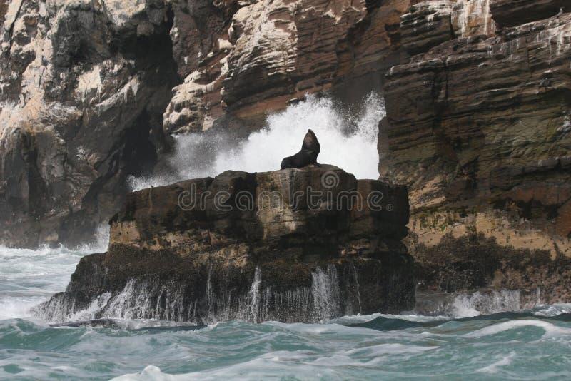 基于岩石的南美海狮在离秘鲁的海岸的附近 库存图片
