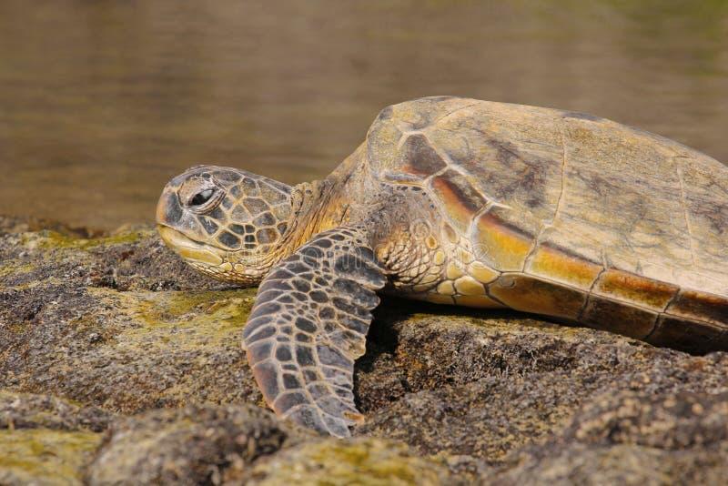 基于岩石2的绿浪乌龟 库存图片