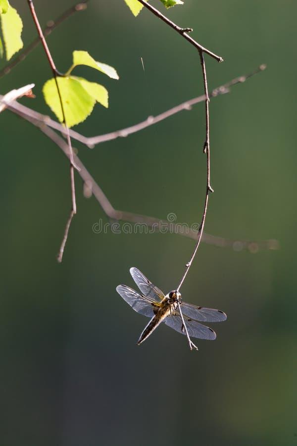 基于枝杈的蜻蜓 免版税库存图片