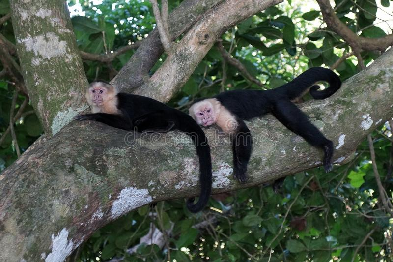 基于树干的两只连斗帽女大衣猴子 库存图片