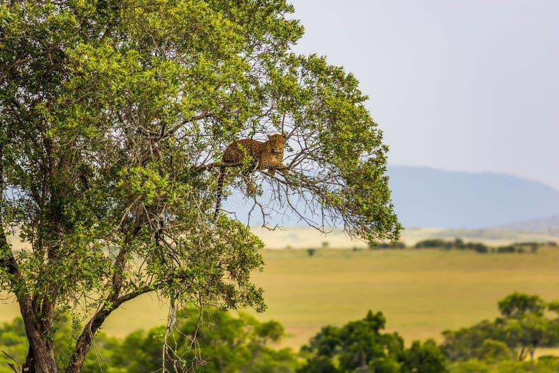 基于树的豹子 库存图片