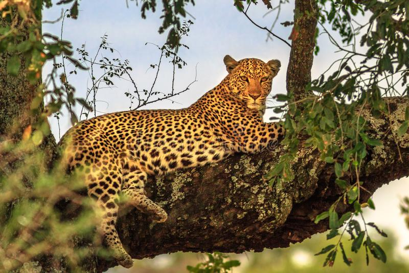 基于树的豹子 库存照片